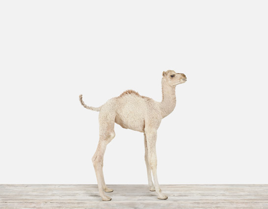 Baby-Camel-Nursery-Art_Main